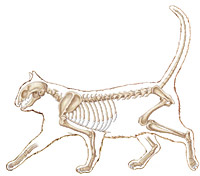 cat anatomy illustration
