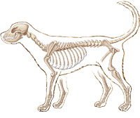 Dog anatomy illustration